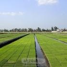 科技示范秧母田