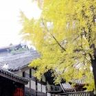 成都金色银杏树