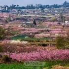 桃花盛开的地方