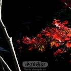 初冬的红叶