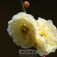 梅花迎春(4...