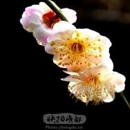 梅花迎春(6...