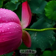 雨荷(2)