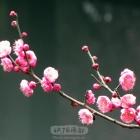 红梅迎春4
