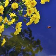 鲜花为着蜜蜂...