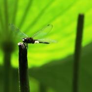 蜻蜓立上头