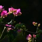 迎春花开--三角梅