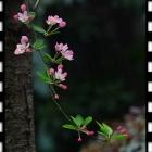 中国名花---垂丝海棠