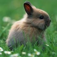 一只小灰兔