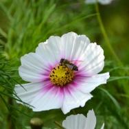 蜜蜂采蜜忙