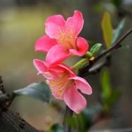 贴梗海棠花